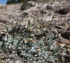 Antennaria rosea or A. aromatica,