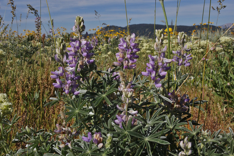 Lupinus argenteus, Silvery Lupine, Teton National Forest.