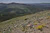 Habitat with Phacelia sericea, Silky Phacelia and Phlox kelseyi, Marsh Phlox, and Senecio canus, Woolly Groundsel, ridge near Mount Washburn 3152m.