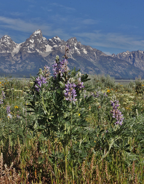 Lupinus argenteus, Silvery Lupine, Teton National Forest.