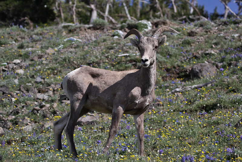 Ovis canadensis, Bighorn Sheep, Mount Washburn 3152m.