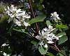 Amelanchier alnifolia, Saskatoon.