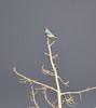 Sialia currucoides, Mountain Bluebird.