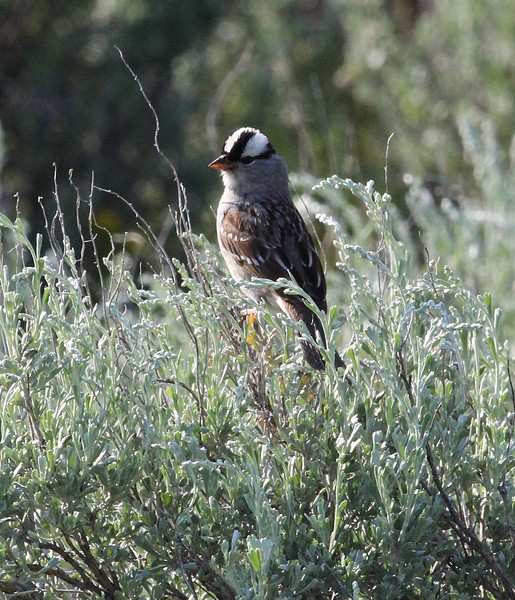 Zonotrichia leucophrys, White-Crowned Sparrow, near the Thunderer 3217m.