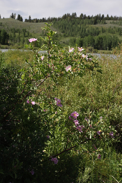 Rosa woodsii, Woods's Rose. (Note: R. acicularis branches have numerous, bristly prickles)