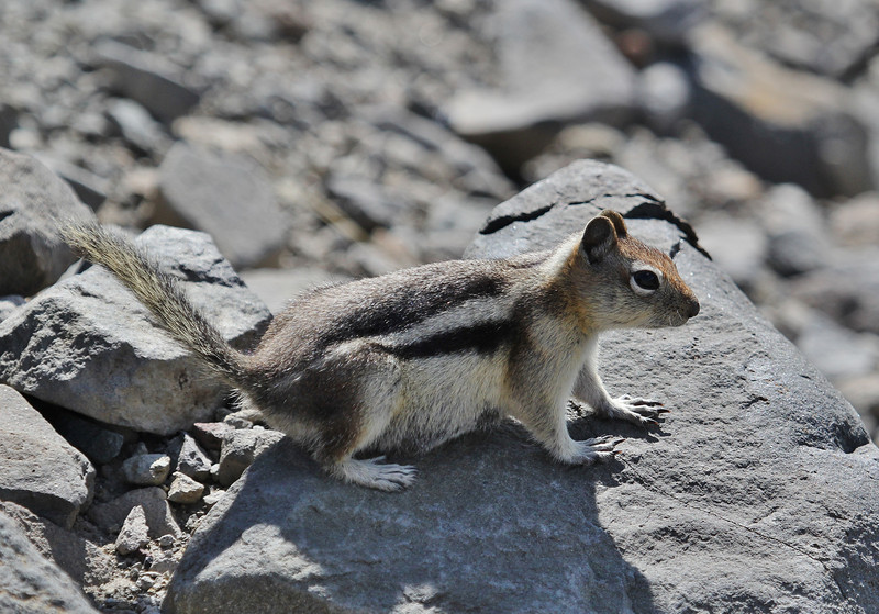 Spermophilus lateralis, Golden-Mantled Ground Squirrel, Mount Washburn 3152m.