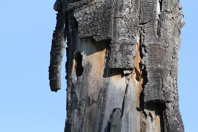 Sialia currucoides, Nest of Mountain Bluebird. Teton National Forest.