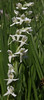 Habernaria dilatata, White Bog Orchid.