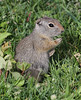 Spermophilus armatus, Uinta Ground Squirrel.  Bridger-Teton National Forest