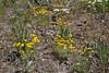 Eriophyllum lanatum, (syn. Actinella lanata), Oregon Sunshine,Buffalo Fork, Bridger-Teton National Forest.