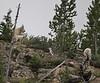 Oreamnos americanus, Mountain Goat