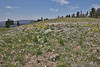 Townsendia parryi, Parry's Townsendia and Phlox kelseyi, Marsh Phlox, Mount Washburn 3152m.