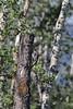 Colaptes auratus, Northern Flicker, female. Teton National Forest.
