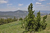 Pinus contorta, Lodgepole Pine, Mount Washburn 3152m.