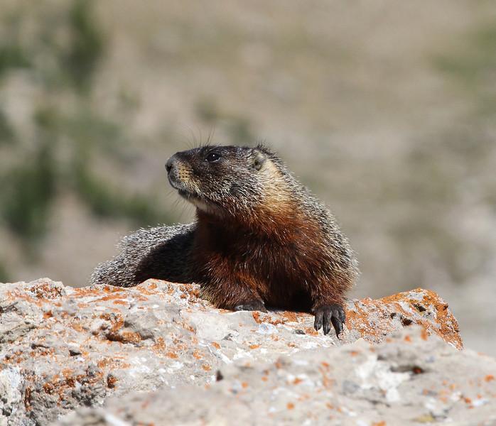Marmota flaviventris, Yellow-Bellied Marmot. Bridger-Teton National Forest.