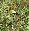 Carduelis tristis, American Goldfinch