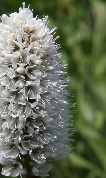 Polygonum (Bistorta) bistortoides, American Bistort, Washburn Range.