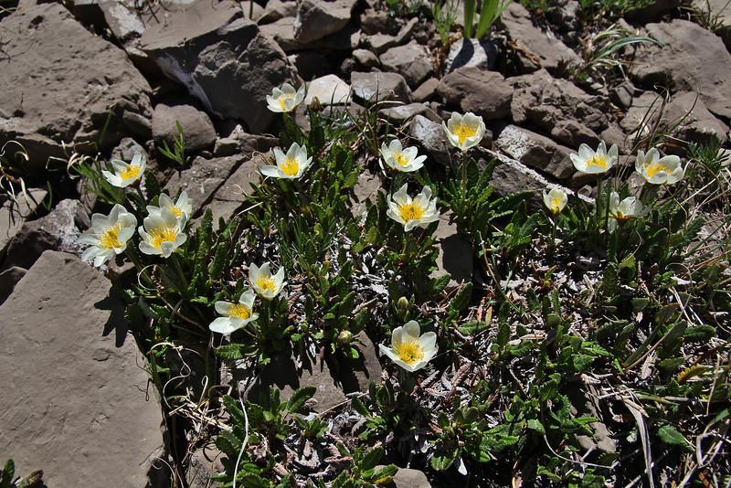 Dryas octopetala var. minor, White-Mountain-Avens, Bridger-Teton National Forest