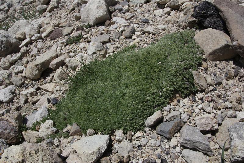 Cushion in bud of Phlox kelseyi, Marsh Phlox, Mount Washburn 3152m.