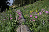 Meadow with Geranium viscosissimum, Sticky Geranium.