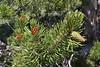 Pinus contorta, Lodgepole Pine, near Jackson Lake.