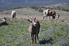 Ovis canadensis, Bighorn Sheep, Mount Washburn 3152m.