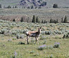 "Antilocarpa americana, male Pronghorn ""Antelope""."