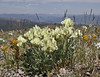 Oxytropis sericea, Silky Crazyweed, Mount Washburn 3152m.