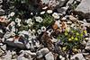 Erigeron compositus, Cut-leaved Fleabane, Right plant without ray florets. Bridger-Teton National Forest.