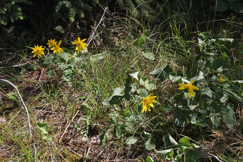 Balsamorhiza sagittata, Arrow-leaved Balsamroot.