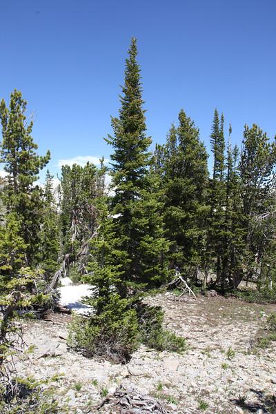 Abies lasiocarpa, snowmat of Subalpine Fir, Bridger-Teton National Forest