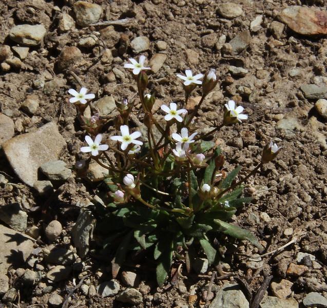 Androsace septentrionalis, Bridger-Teton National Forest