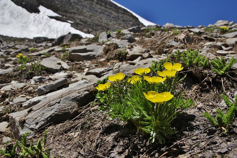 Ranunculus eschscholtzii, Mountain Buttercup, Bridger-Teton National Forest