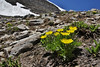 Ranunculus eschscholtzii, Mountain Buttercup, Bridger-Teton National Forest