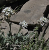 Smelowskia calycina, Alpine Smelowskia, Bridger-Teton National Forest
