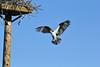 Pandion haliaetus, Osprey near Jackson Lake