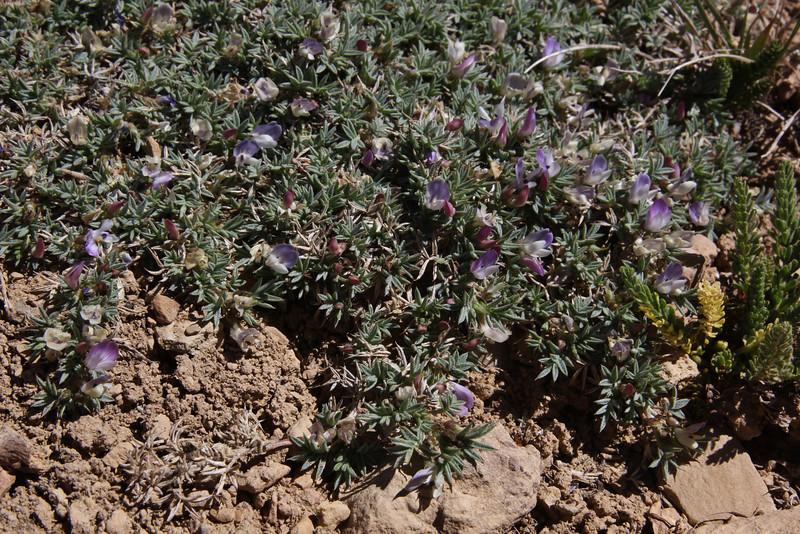 Astragalus kentrophyta var. implexus, (upper petal purplish), Kentrophyta, Bridger-Teton National Forest