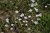 Cerastium arvense, Field Chickweed.