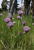 Allium Schoenoprasum, Siberian Chives, Firehole River.