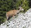 Odocoileus virginianus, doe (female) White-tailed Deer. Bridger-Teton National Forest.