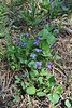 Viola adunca, Early Blue Violet.