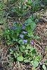 Viola adunca, Early Blue Violet.