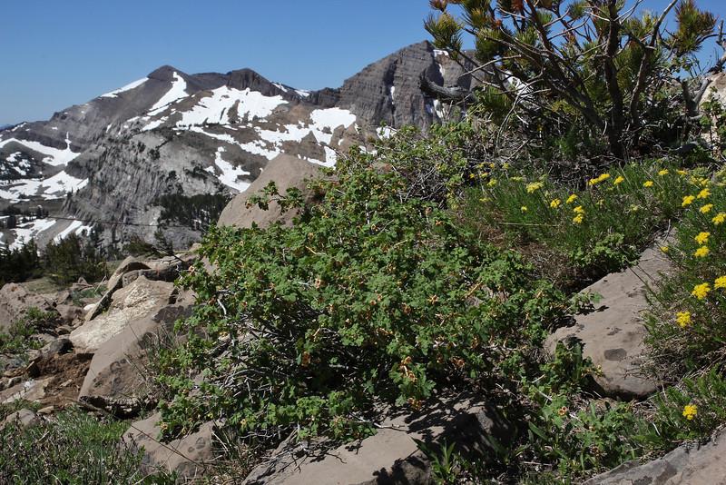 Ribes lacustre, Currant spec. Bridger-Teton National Forest