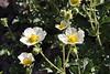 Potentilla glandulosa, Sticky Cinquefoil,