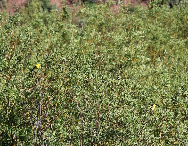 Carduelis tristis, American Goldfinch