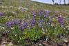 Penstemon cf. eriantherus, Fuzzy-Tongued Penstemon, Mount Washburn 3152m.