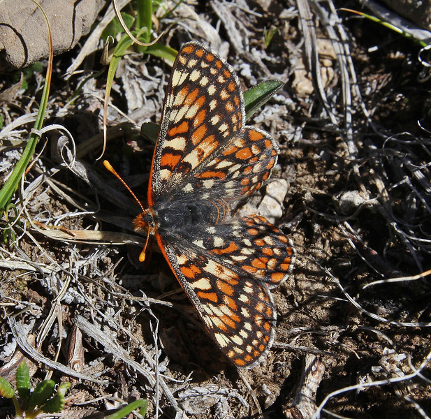 Euphydryas chalcedona, Variable Checkerspot. Bridger-Teton National Forest