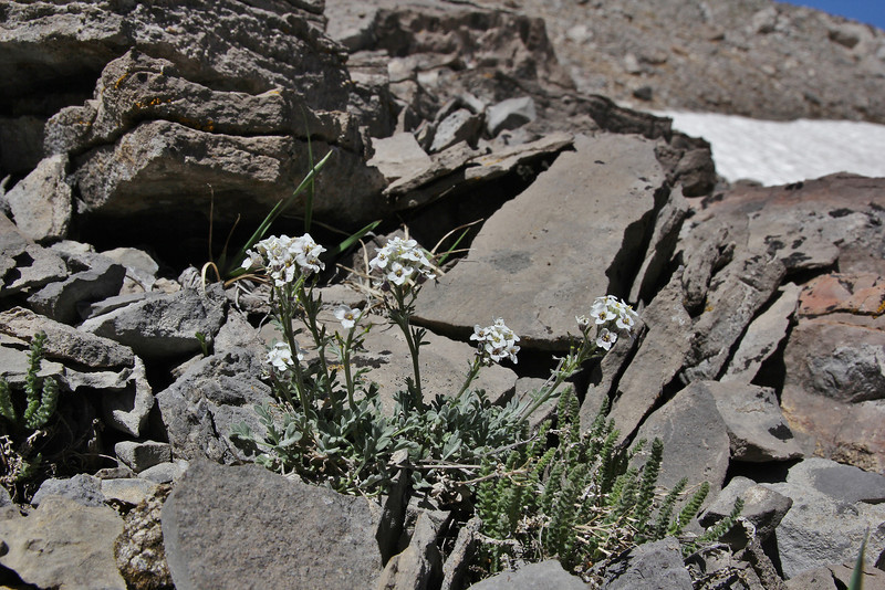 Smelowskia calycina, Alpine Smelowskia, Bridger-Teton National Forest