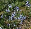 Hackelia floribunda, Many-flowered Stickseed.