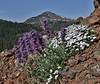 Phacelia sericea and Phlox multiflora, Silky Phacelia and Rocky Mountain Phlox.
